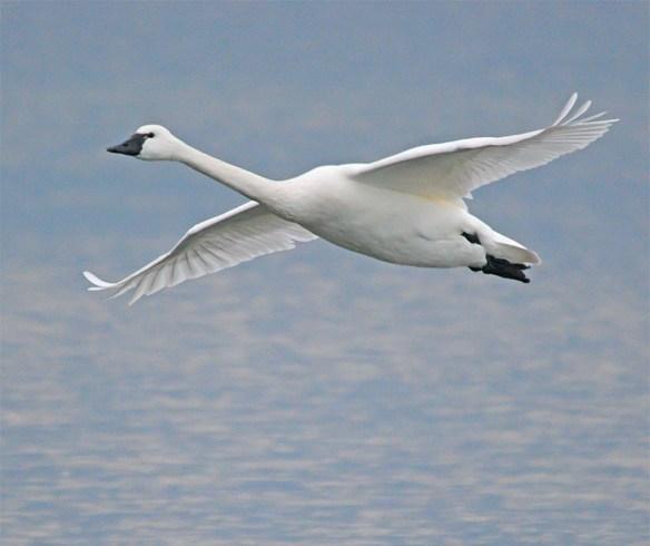 Tundra Swan 2017-29