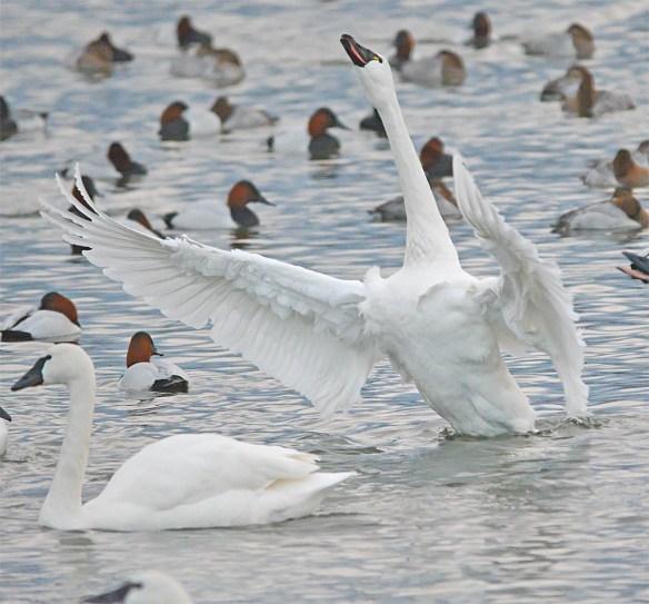 Tundra Swan 2017-32