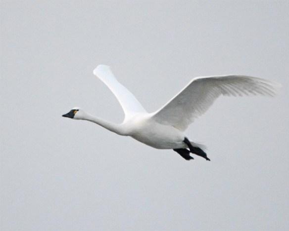 Tundra Swan 2017-42