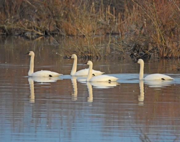 Tundra Swan 2017-44