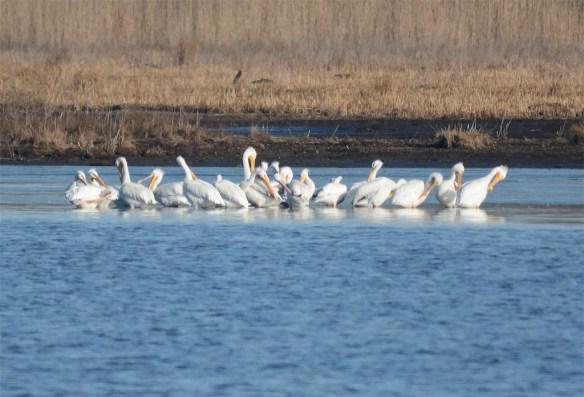 American White Pelican 2017-10