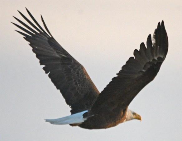 Bald Eagle 2017-75
