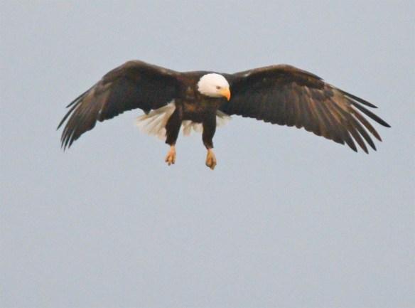 Bald Eagle 2017-83
