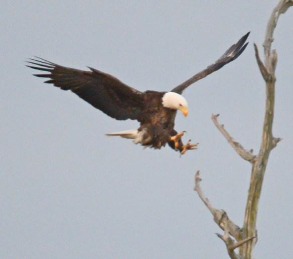 Bald Eagle 2017-84