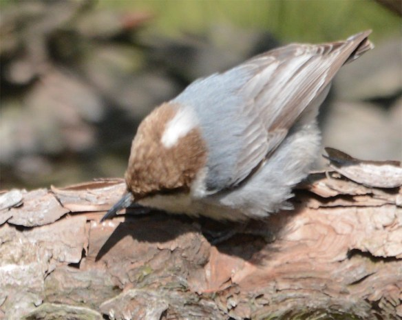 Brown Headed Nuthatch 2017-3