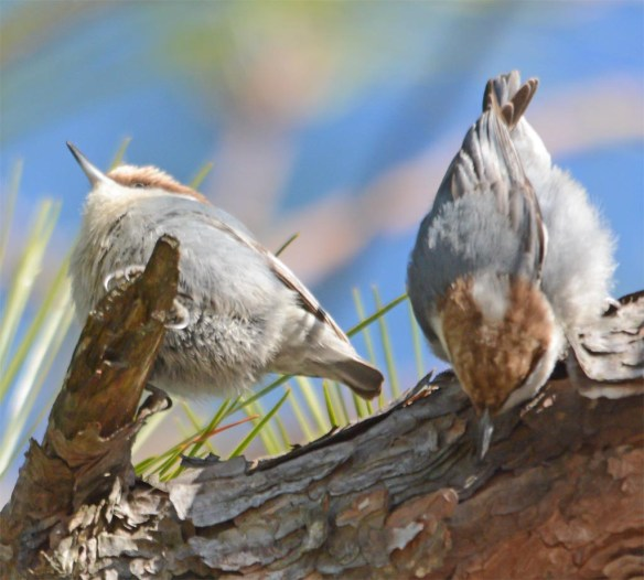 Brown Headed Nuthatch 2017-6