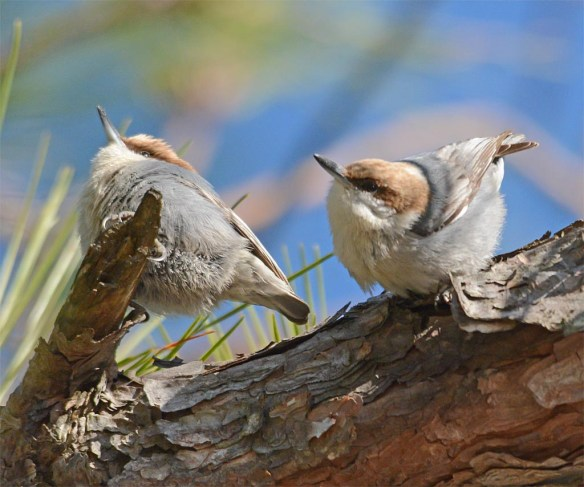 Brown Headed Nuthatch 2017-7