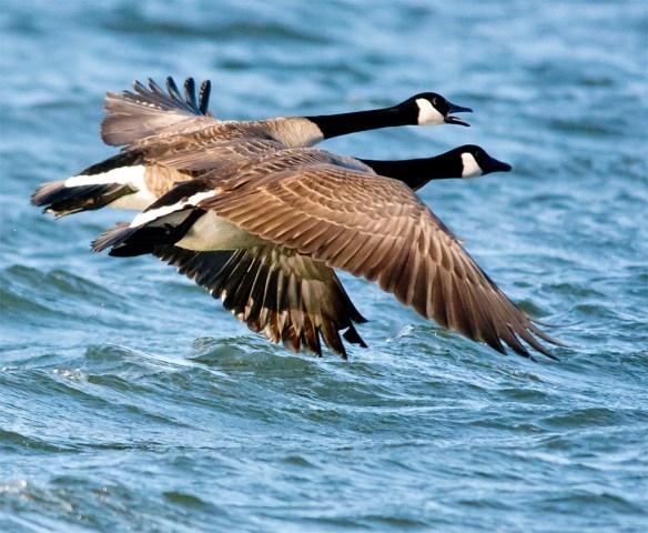 Canada Goose 2017-5