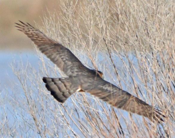 Cooper's Hawk 2017-4