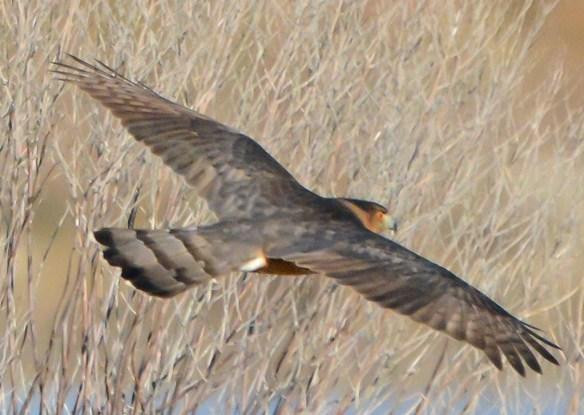 Cooper's Hawk 2017-5