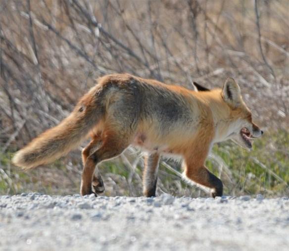 Fox 65