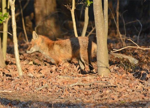 Fox 67