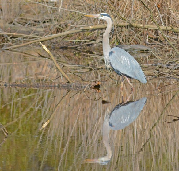 Great Blue Heron 2017-24