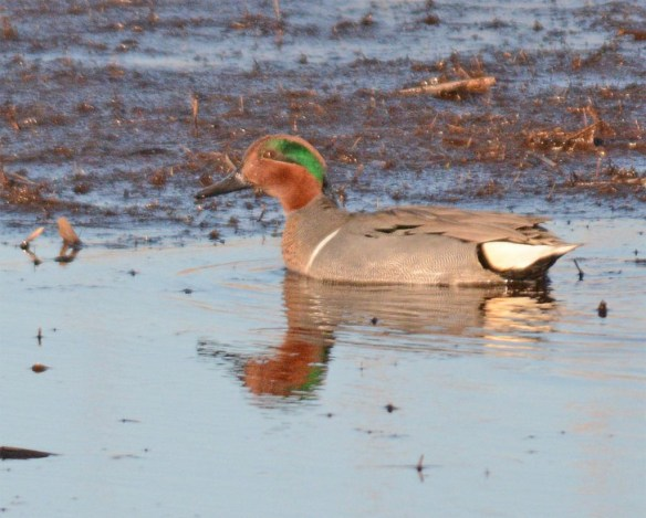 Green Winged Teal 2017-5