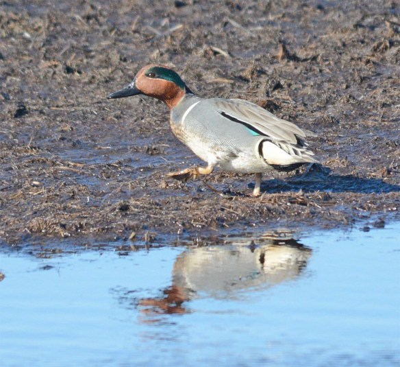 Green Winged Teal 2017-6
