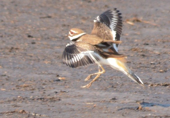 Killdeer 2017-4