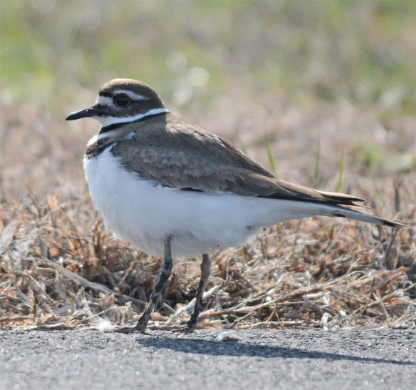 Killdeer 2017-7