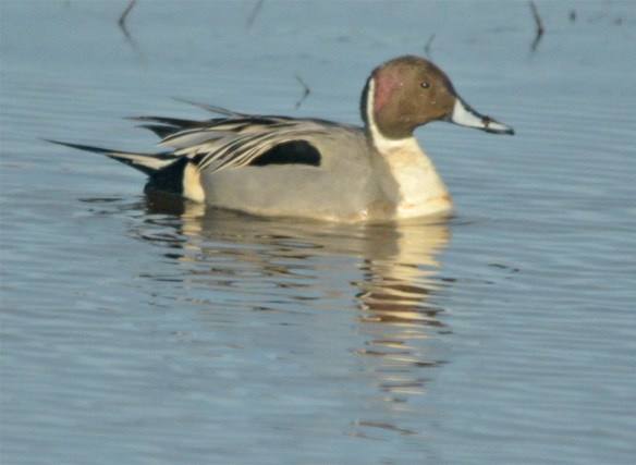 Northern Pintail 2017-29