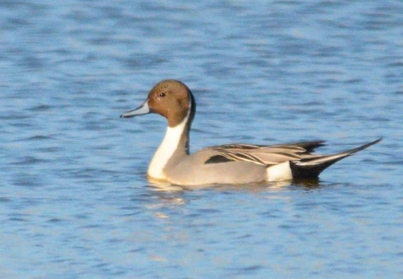 Northern Pintail 2017-35