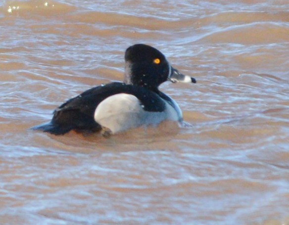 Ring Necked Duck 2017-7