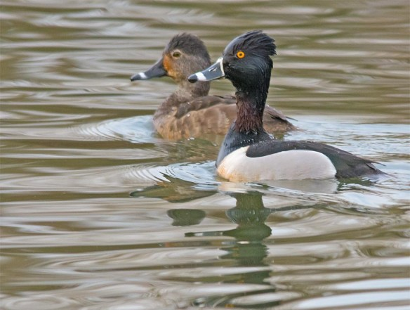 Ring Necked Duck 2017-8
