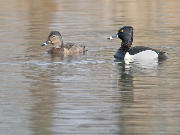 Ring Necked Duck 2017-9