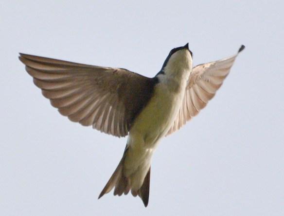 Tree Swallow 2017-8