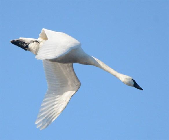 Tundra Swan 2017-57