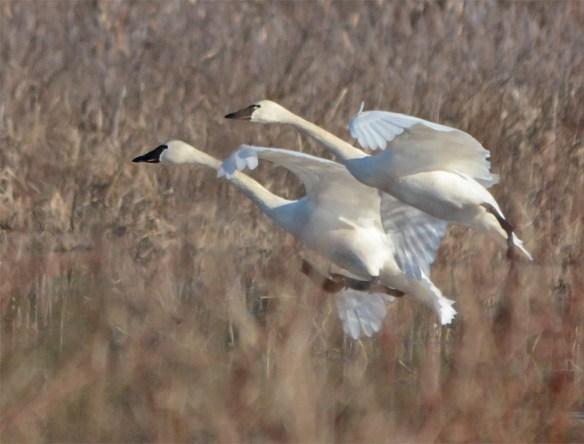 Tundra Swan 2017-60