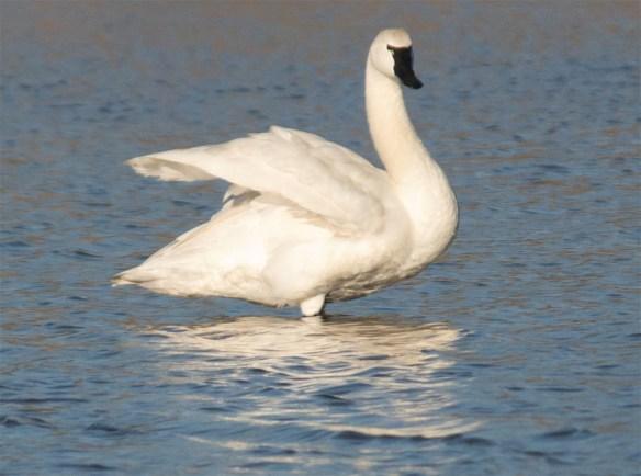 Tundra Swan 2017-61