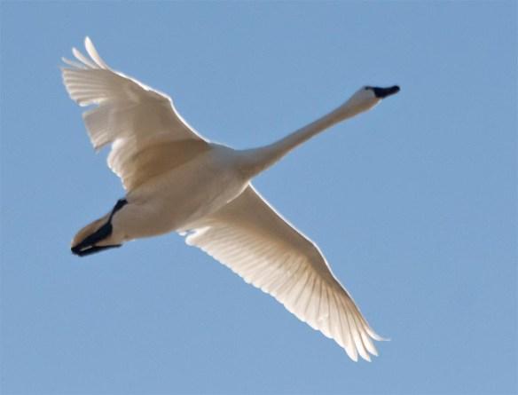 Tundra Swan 2017-62
