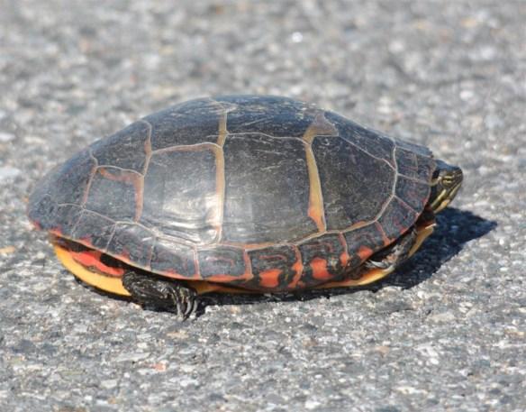 Turtle 70