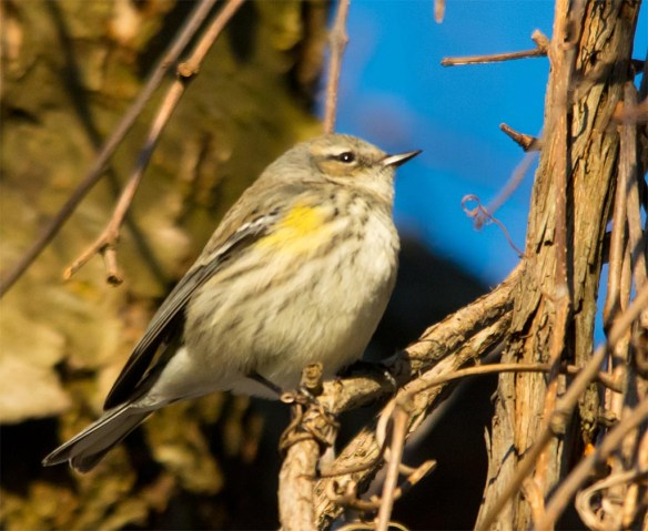 Yellow Rumped Warbler 2017-2