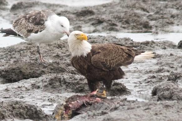 Bald Eagle 2017-94