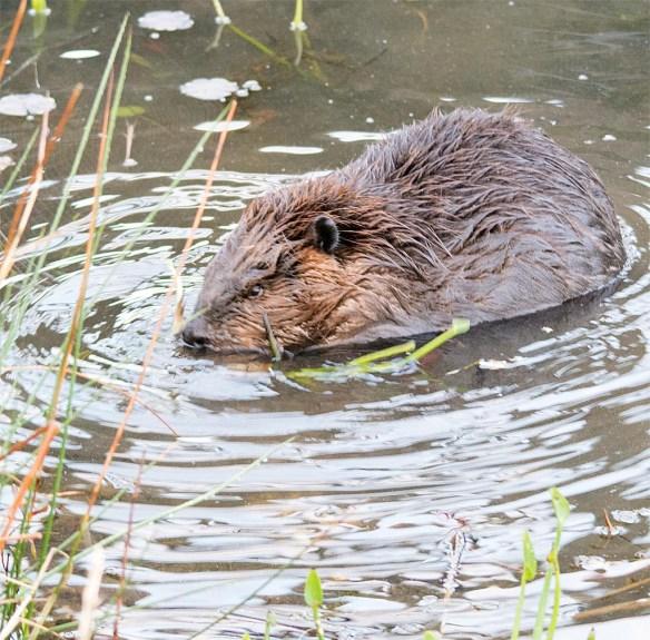 Beaver 113