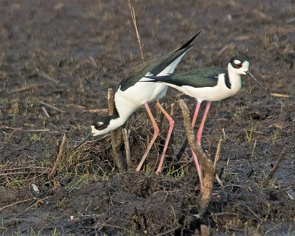 Black-necked Stilt 2017-4