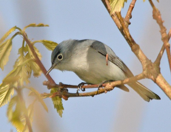 Blue Gray Gnatcatcher 2017-4
