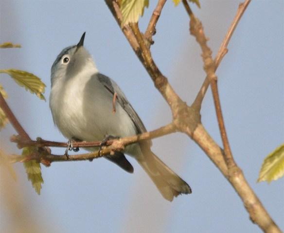 Blue Gray Gnatcatcher 2017-5
