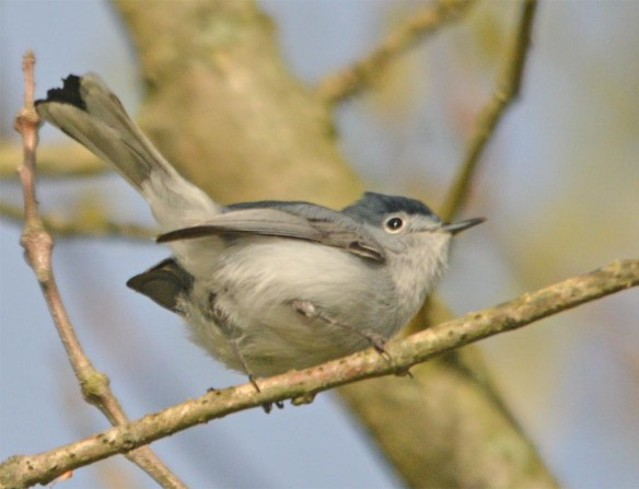 Blue Gray Gnatcatcher 2017-6