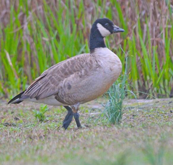 Cackling Goose 2017-8