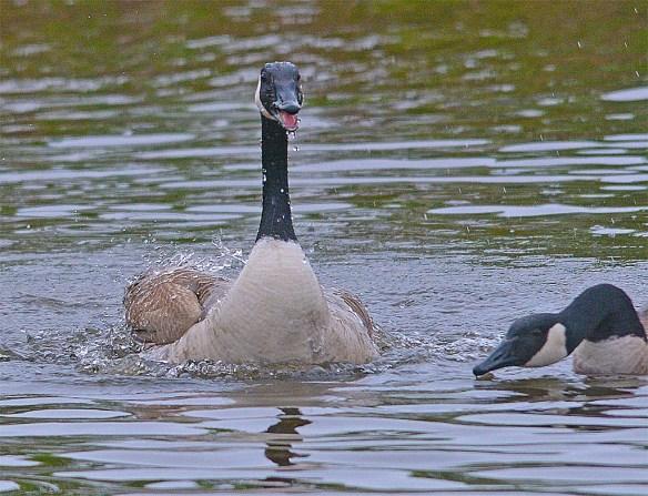 Canada Goose 2017-19