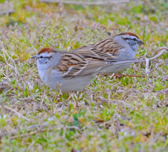 Chipping Sparrow 2017-3
