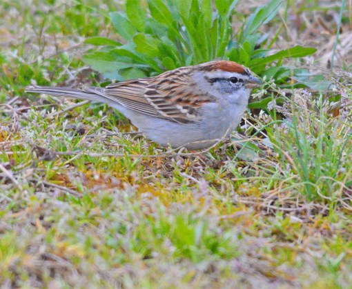 Chipping Sparrow 2017-4