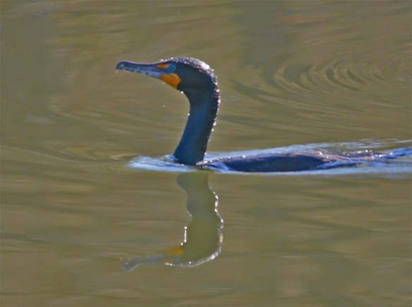 Double Crested Cormorant 2017-7