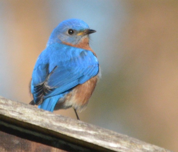 Eastern Bluebird 2017-5