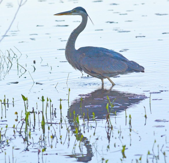 Great Blue Heron 2017-26