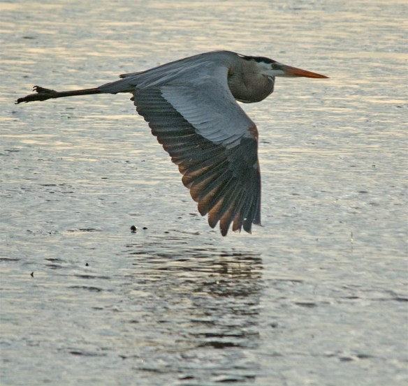 Great Blue Heron 2017-29