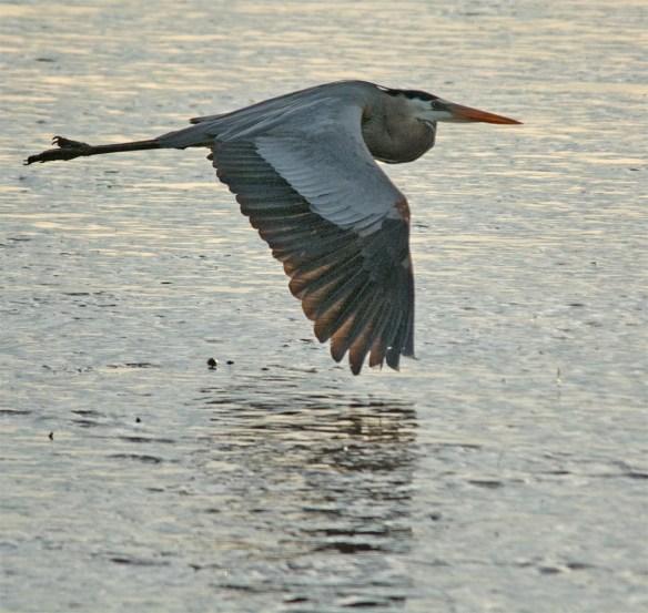 Great Blue Heron 2017-29