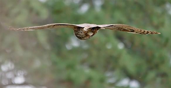 Great Horned Owl 2017-5
