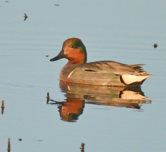 Green Winged Teal 2017-14